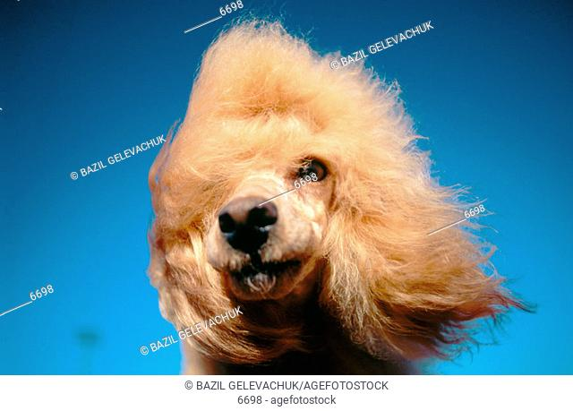 Dwarf Poodle