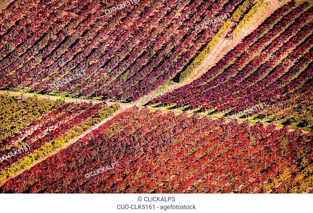 Lambrusco vineyards, Modena, Emilia-Romagna, Italy