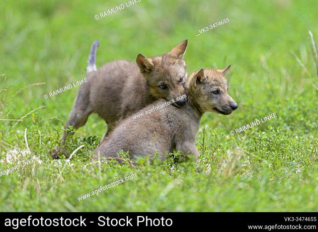 Wolf, Canis lupus, two cub playing