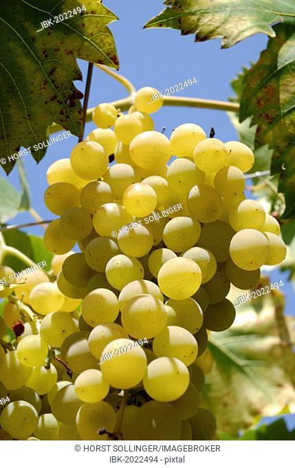 White Grapes (Vitis Vinum), Malvasia, Dalmatia, Croatia, Europe