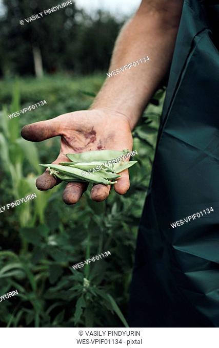 Gardener holding beans in garden