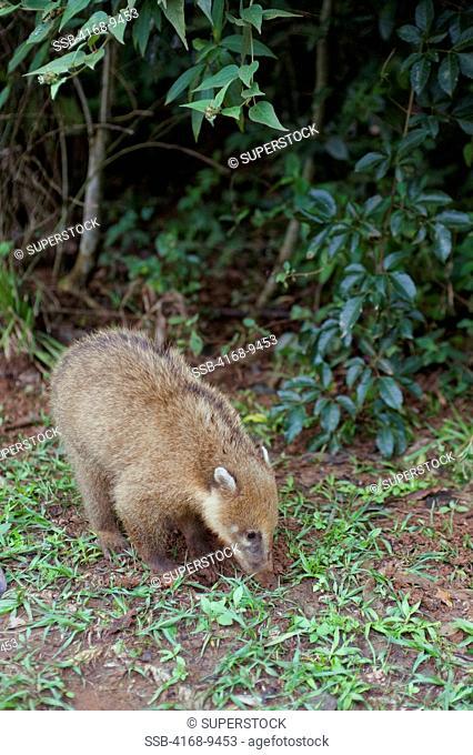 Argentina, Iguassu National Park, Coatimundi