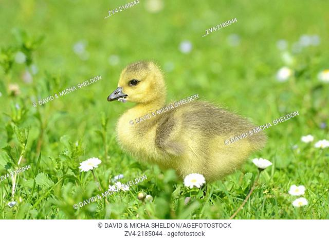 Close-up of a Canada Goose (Branta canadensis) chick in a meadow in spring