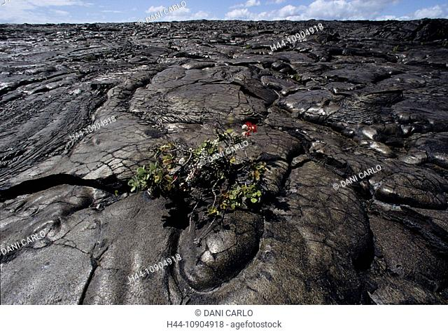 new, vegetation, pahoehoe, lava, volcanism, volcanoes, national park, Big Island, Hawaii, USA, United States, America