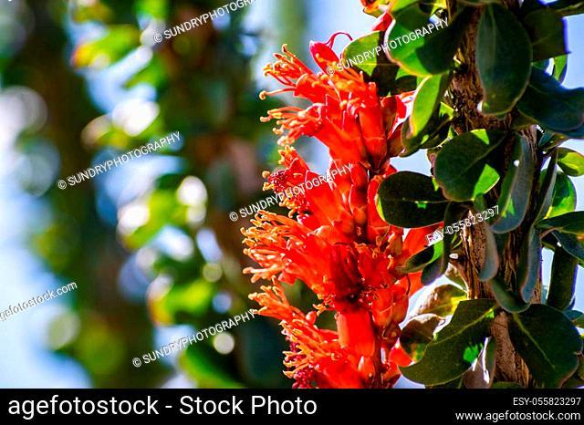 Close up of Ocotillo (Fouquieria splendens) wildflowers, Anza Borrego Desert State Park, California