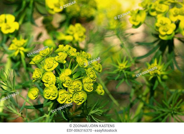 Cypress spurge - Euphorbia cyparissias