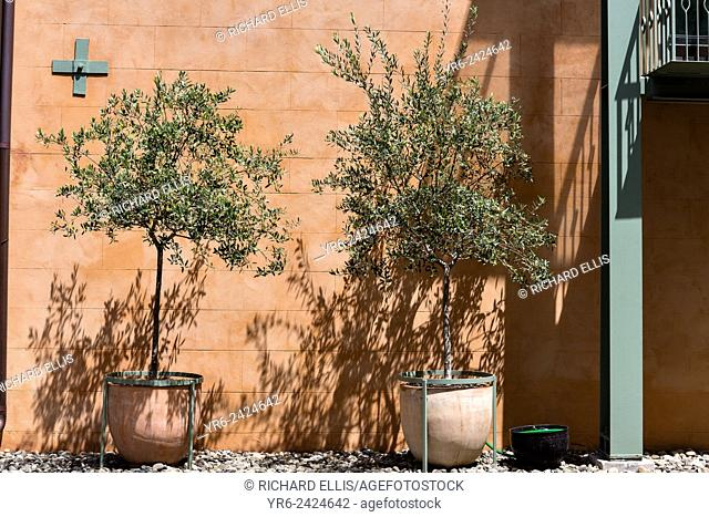 Olive trees growing in a pot along a old wall in the French Quarter along Church Street in historic Charleston, SC