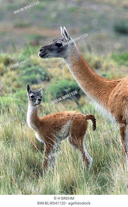 guanaco Lama guanicoe, mother with foal, Chile, Torres del Paine National Park