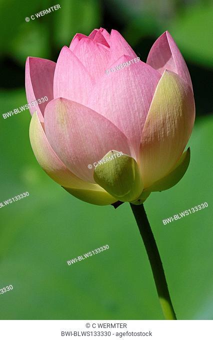 East Indian lotus Nelumbo nucifera, flower