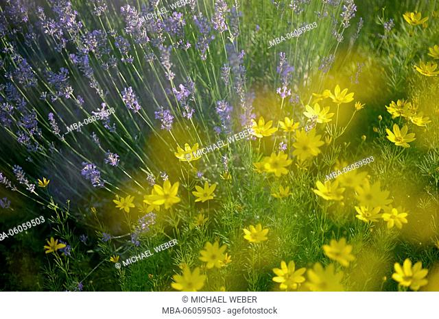 Lavender (Lavandula) and tickseed (Coreopsis), Baden-Wurttemberg, Germany