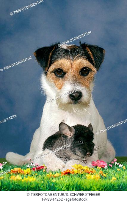 dog and chinchilla