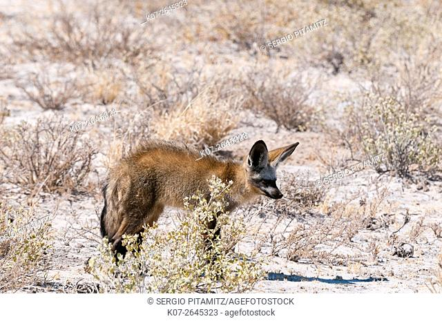 Bat-eared foxes (Otocyon megalotis), Central Kalahari National Park, Botswana