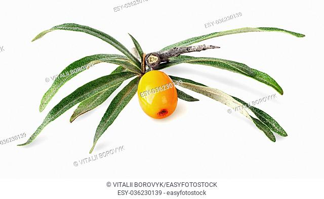 Sea buckthorn. Fresh ripe berry with leaves isolated on white background