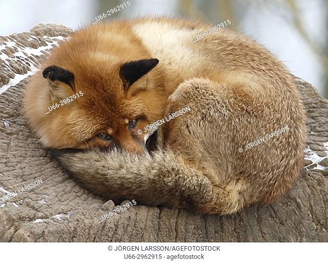 Red fox resting, Sweden