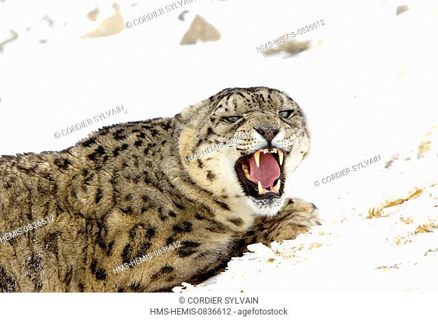 United States, Montana, Bozeman, Game Farm, Once, Snow leopard (Panthera uncia uncia or Uncia)
