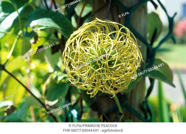 Clematis Clematis sp 'Nelly Moser' seedhead in garden, Cornwall, England