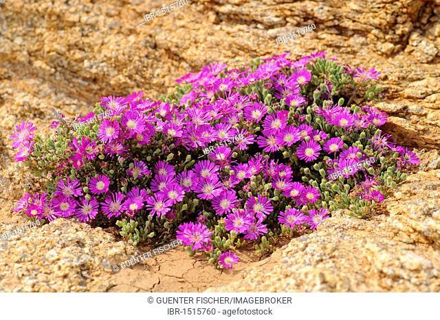 Dewflowers, vygies, (Drosanthemum hispidum), Namaqualand, South Africa
