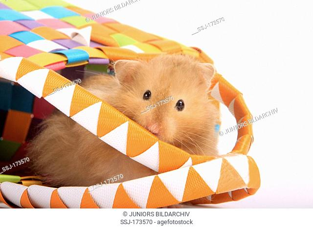 Pet Hamster, Teddy Bear Hamster (Mesocricetus auratus). Single adult looking out from a colourful carrier bag. Studio picture against a white background