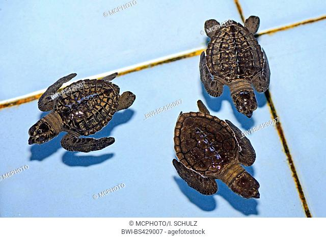 Olive ridley, Pacific ridley turtle, Olive ridley sea turtle, Pacific ridley sea turtle (Lepidochelys olivacea), circa one month old sea turtles in a breeding...