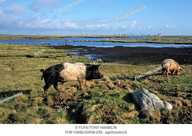 Domestic Pig, hardy outdoor crossbreed, two adults, foraging in coastal habitat, North Uist, Outer Hebrides, Scotland