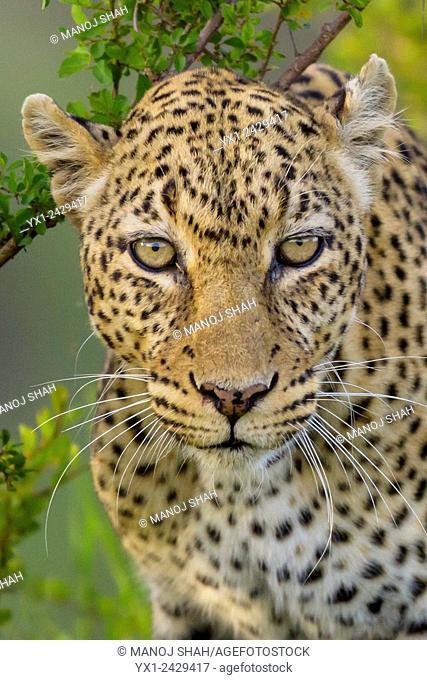 leopard portrait. Masai Mara National Reserve, Kenya