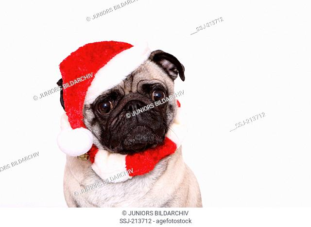Pug. Portrait of adult bitch, wearing Santa Claus hat and muffler. Studio picture against a white background. Germany