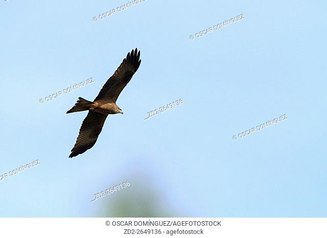 Black Kite (Milvus migrans) in flight. Lleida province. Catalonia. Spain