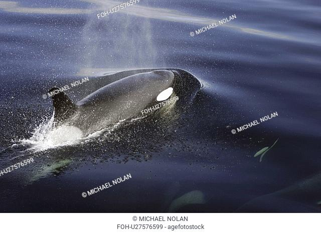 Orca Orcinus orca pod surfacing calm waters in Chatham Strait, southeast Alaska, USA