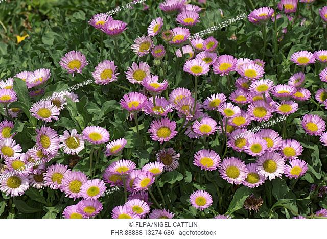 "Pink flowers with yellow centres set against green leaves of this prostrate, spreading, rockery alpine plant, Erigeron """"Sea Breeze"""" ib a garden, Berkshire"