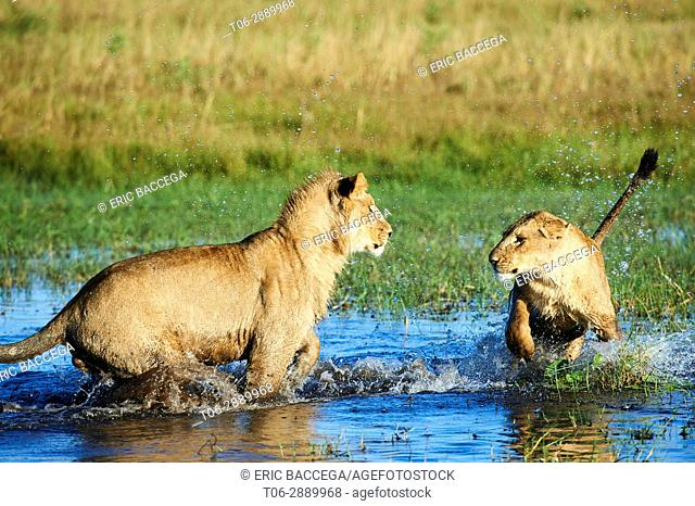 Afrian lioness with her juvenile cub playing in water (Panthera leo) Duba Plains concession. Okavango delta, Botswana
