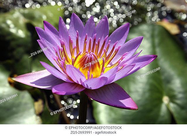 Star Water lily or blue lotus (Nymphaea nouchali var. cyanea)
