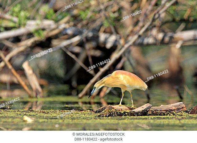 Squacco Heron Ardeola ralloides family : Ardeides order : ciconiiformes