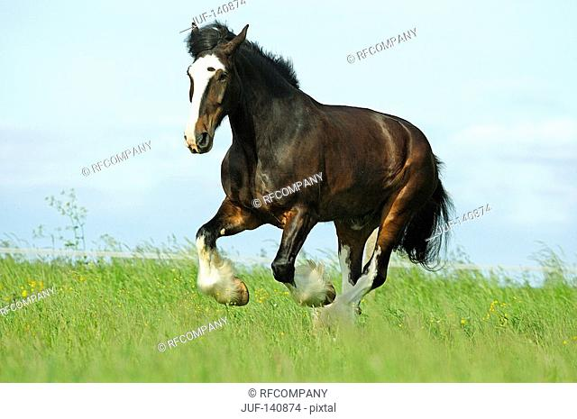 shire horse - galloping on meadow