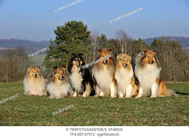 longhaired collies