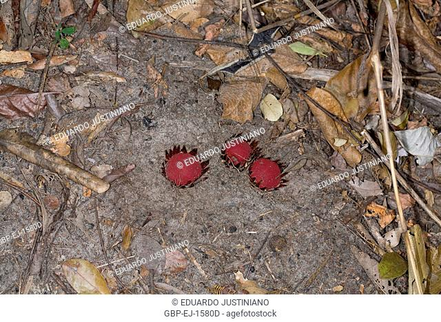 Parasite of Root, (Langsdorffia sp), Parasitism, Rio Preto State Park, São Gonçalo do Rio Preto, Minas Gerais, Brazil