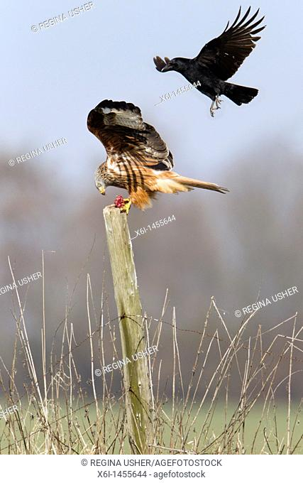 Red Kite, Milvus milvus, percherd on fence post, being mobbed by carrion crow Corvus corone, Lower Saxony, Germany