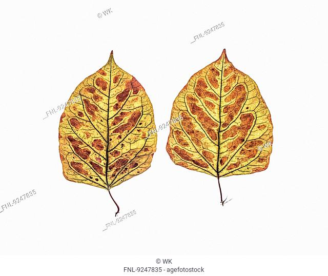 Two dried leaves of Japanese knotweed