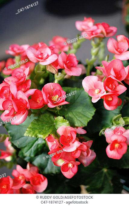 Elatior begonia Begonia x hiemalis is a hybrid begonia with an upright growth habit and big single bloom or double blooms  Elatior begonia is available in a...