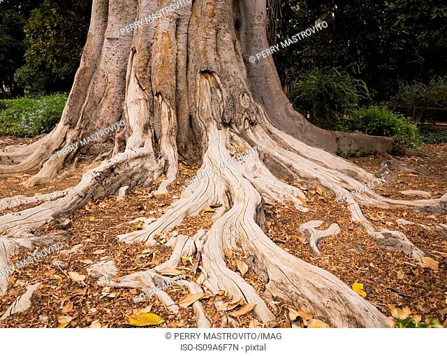Rubber tree roots