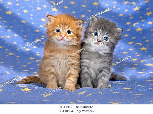 American Longhair, Maine Coon. Two kittens (red tabby and blue tabby, 4 weeks old) on a blue blanket with stars