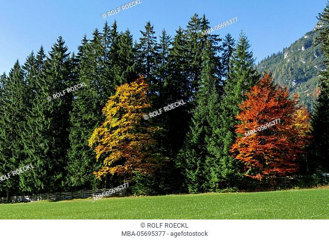 two colourful broad-leaved trees at the edge of the forest, Leutaschtal, Tyrol