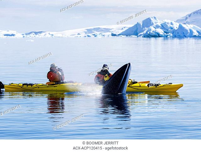 Kayakers encounter close up, a Minke Whale (Balaenoptera bonaerensis) coming up for a breath while paddling in Curtis Bay. Antarctic Peninsula