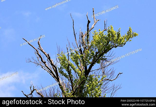 05 May 2020, Mecklenburg-Western Pomerania, Rostock: In the Schnatermann forest district of the Rostock Heath a clearly weakened beech can be seen