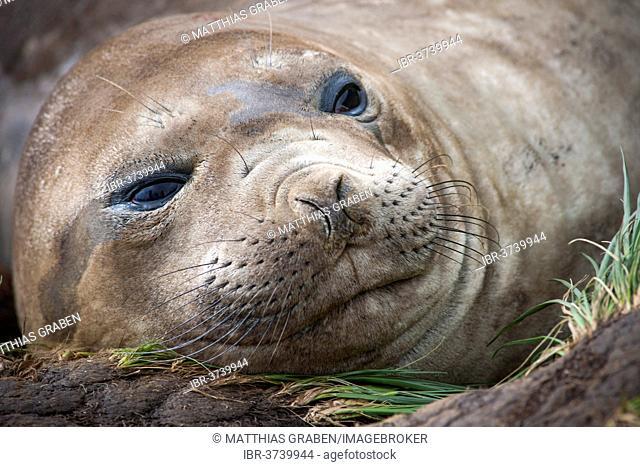 Southern Elephant Seal (Mirounga leonina), female, Gold Harbour, South Georgia and the South Sandwich Islands, United Kingdom