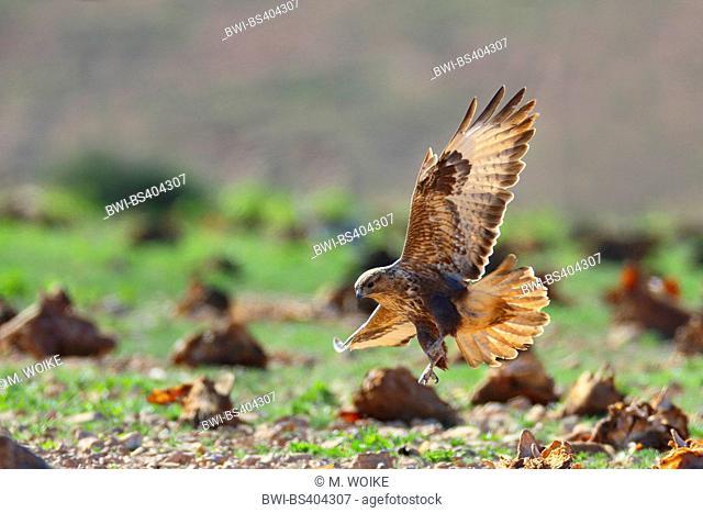 Eurasian buzzard (Buteo buteo insularum), hunting, Canary Islands, Fuerteventura