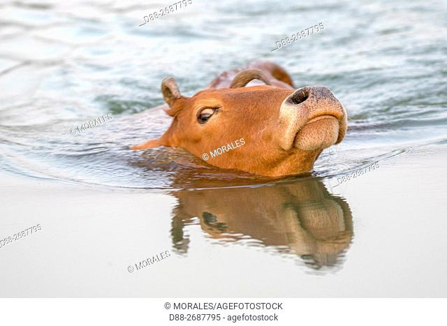 South east Asia, India,Tripura state,a cow crossing a stretch of water in swimming