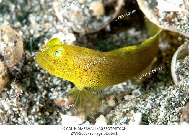 Banded Shrimpgoby (Cryptocentrus cinctus), Pantai Parigi dive site, Lembeh Straits, Sulawesi, Indonesia