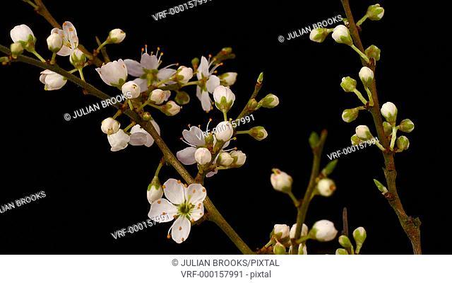 blackthorn blossom flowering