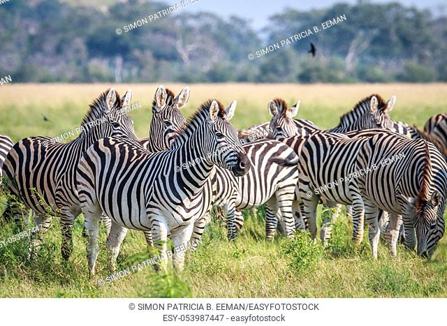 Group of starring Zebras in the grass in the Chobe National Park, Botswana
