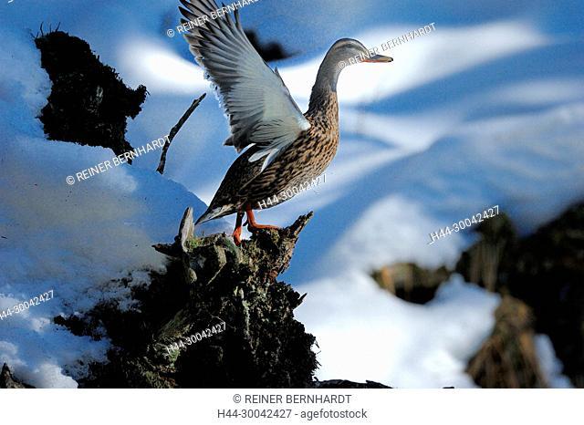 Anas platyrhynchos, duck, ducks, ducks in winter, mating season of the mallards, row time, Reihzeit, mallard, mallards, mallards in winter, bird, birds